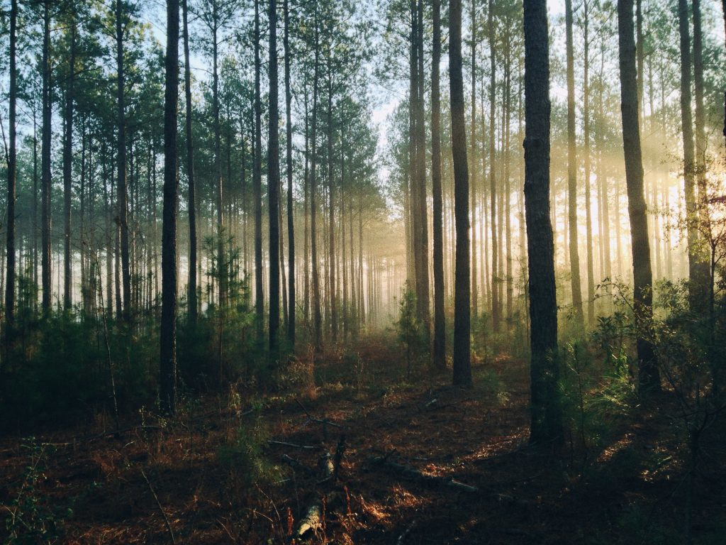 A photo of sunlight shining across a sea of trees in a forest